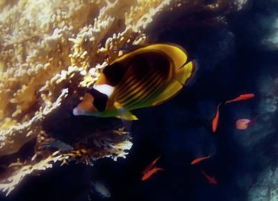 Photograph - Raccoon Butterflyfish And Red Sea Anthias by Johanna Hurmerinta