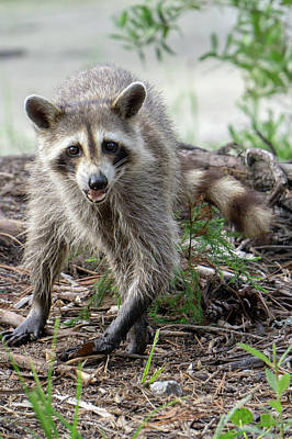 Photograph - Raccoon Causing Mischief At A Campsite by Alex Grichenko