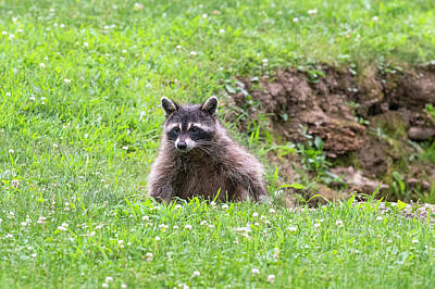 Photograph - Raccoon Climbing Out Of A Hole by Dan Friend