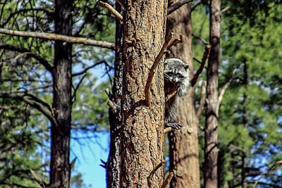 Photograph - Raccoon In Tree, Arizona by Dawn Richards