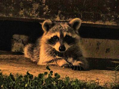 Soap Suds - Raccoon by Nicholas Haddox