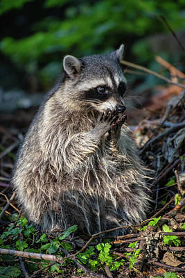 Photograph - Raccoon by Ross G Strachan