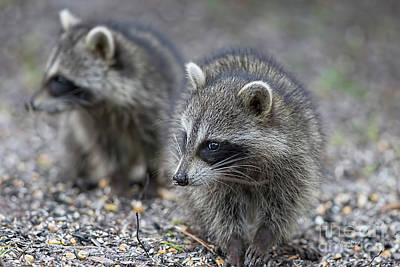 Photograph - Raccoon Siblings by Deborah Benoit