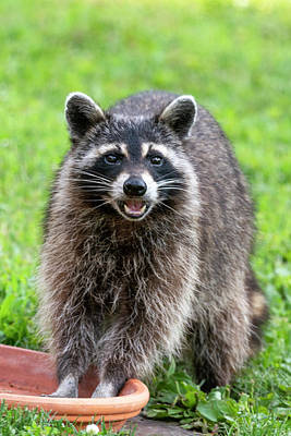 Photograph - Raccoon Washing His Hands And Laughing  by Dan Friend