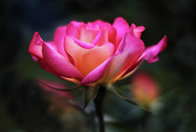 Photograph -  Radiance Of A Rose by Jessica Jenney
