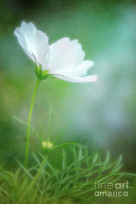 Photograph - Radiant White Cosmos In The Evening Light by Anita Pollak