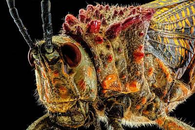 Photograph - Rainbow Milkweed Locust 2x by Gary Shepard