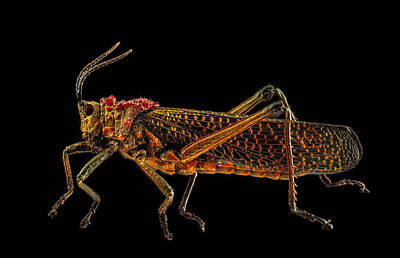 Photograph - Rainbow Milkweed Locust by Gary Shepard