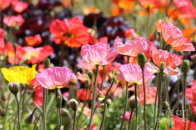 Winter Animals Rights Managed Images - Rainbow Of Poppies Royalty-Free Image by Diann Fisher