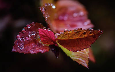 Photograph - Raindrops 4 Leaves by Glenn DiPaola