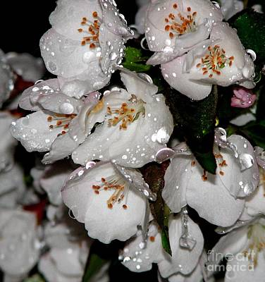 Photograph - Raindrops On Crab Apple Blossoms By Rose Santucisofranko by Rose Santuci-Sofranko