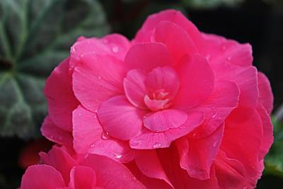 Photograph - Raindrops On Pink by Michiale Schneider