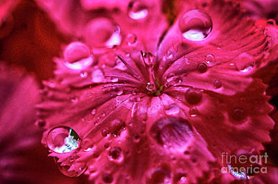 Photograph - Raindrops Pink Flower by Thomas R Fletcher