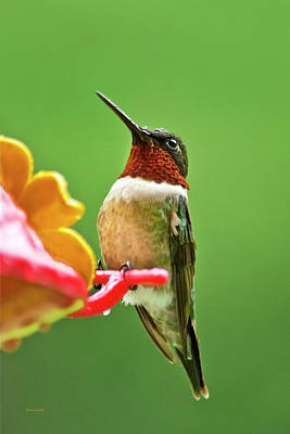 Photograph - Rainy Day Hummingbird by Christina Rollo