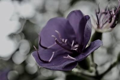 Photograph - Rainy Day Tibouchina Laxiflora by Lynda Anne Williams