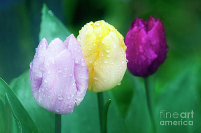 Photograph - Rainy Day Tulips by Terri Waters