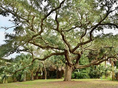 Photograph - Rambling Oak by Storm Smith