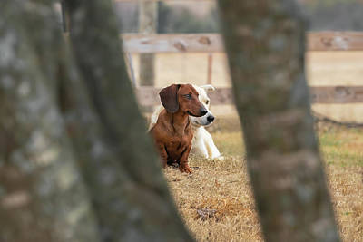 Photograph - Ranch dogs  by K Pegg