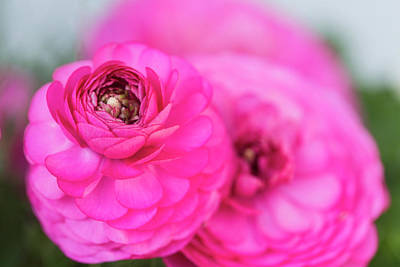 Royalty-Free and Rights-Managed Images - Ranunkel in Pink by Iris Richardson