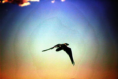 Photograph - Raven Flying On Southwest Sunset by Colleen Cornelius