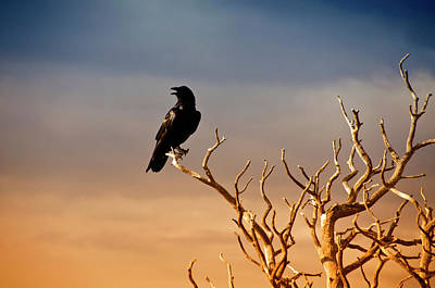 Branch Photograph - Raven On Sunlit Tree Branches, Grand by Trina Dopp Photography
