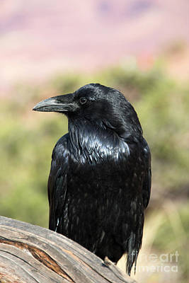 Photograph - Raven Profile by Mike Dawson