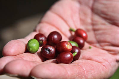 Photograph - Raw Coffee Beans In Boquete, Panama by Tatiana Travelways