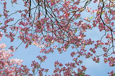 Photograph - Reaching The Sky. Flowering Dogwood 3 by Jenny Rainbow