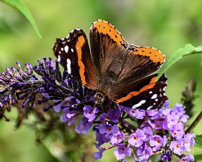 Beaches And Waves Rights Managed Images - Red-admiral With Proboscis In Flower Royalty-Free Image by Cindy Treger