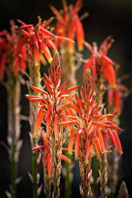 Photograph - Red Aloe by Saija Lehtonen