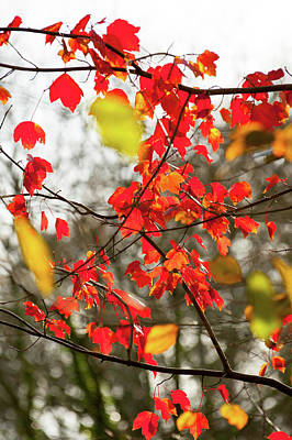 Photograph - Red And Gold Autumn Leaves by Helen Northcott