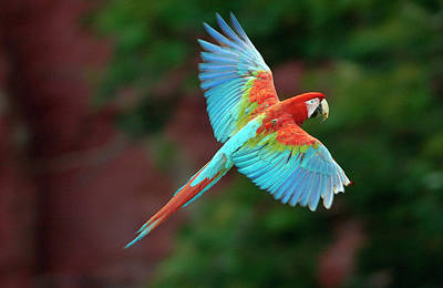 Photograph - Red And Green Macaw Ara Chloroptera, In by Pete Oxford/ Minden Pictures
