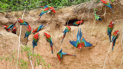 Bird Photograph - Red And Green Macaw Ara Chloroptera by Konrad Wothe/ Minden Pictures
