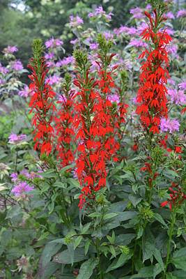 Photograph - Red And Lavender Wildflowers Vertical by Aimee L Maher ALM GALLERY