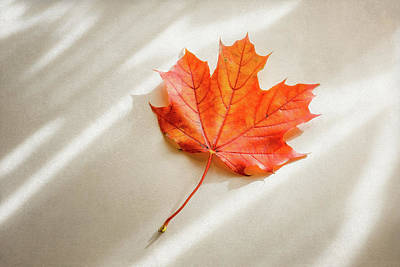 Black And White Horse Photography - Red and Orange Maple Leaf by Scott Norris