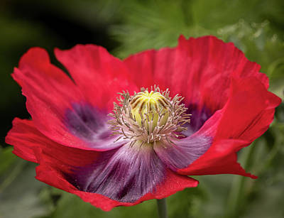 Photograph - Red And Purple Iceland Poppy 9483 By Tl Wilson Photography by Teresa Wilson