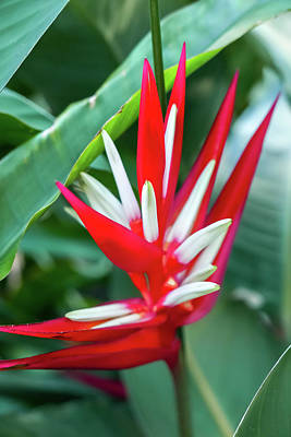 Photograph - Red And White Birds Of Paradise by Tita She