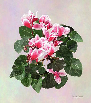 Photograph - Red And White Cyclamen by Susan Savad