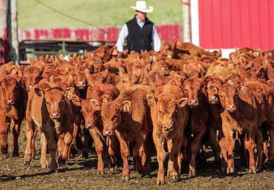 Photograph - Red Angus Calves by Todd Klassy