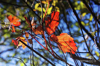 Photograph - Red Autumn Leaves by Tatiana Travelways