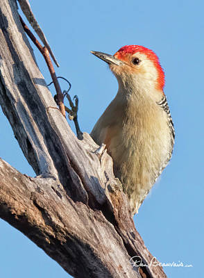 Dan Beauvais Royalty Free Images - Red-Bellied Woodpecker 3071 Royalty-Free Image by Dan Beauvais