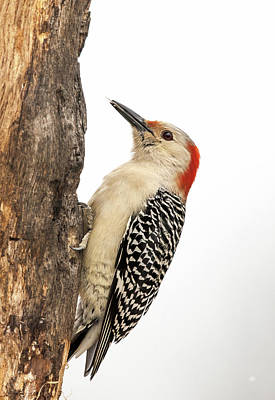 Photograph - Red-bellied Woodpecker Secret Stash by Lara Ellis