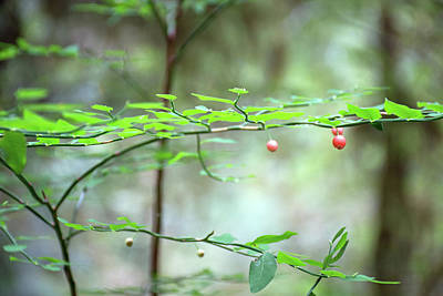Photograph - Red Berries In Olympic National Park by Bruce Gourley