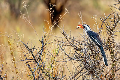 Photograph - Southern Red-billed Hornbill In The Bush by Kay Brewer