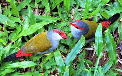 Girl Wall Art - Photograph - Red-browed Finch Pair by Joan Stratton