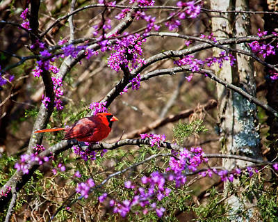 Eastern Red Cedar Wall Art - Photograph - Red Cadinal Perched In A Redbud Tree by Laura Vilandre