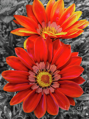 Photograph - Red Cape Daisys by Tony Baca