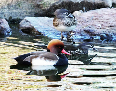 Photograph - Red Crested Pochard And Mandarin Ducks by Lizi Beard-Ward