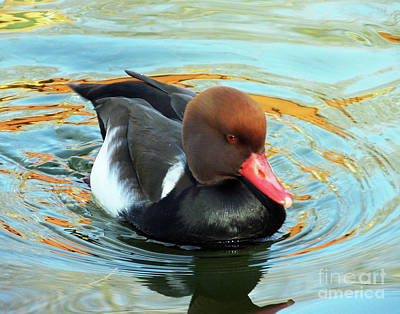 Photograph - Red Crested Pochard by Lizi Beard-Ward