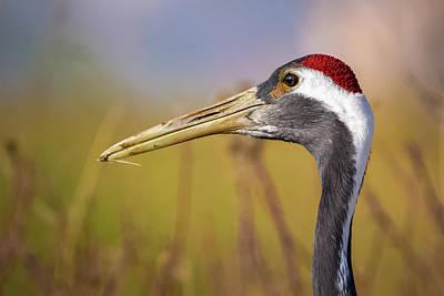 Photograph - Red Crowned Crane Closeup Zhangye Wetland Park Gansu China by Adam Rainoff